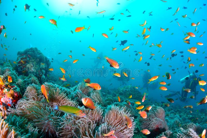 Maldives Anemonefish. Sea or ocean underwater with coral reef stock images