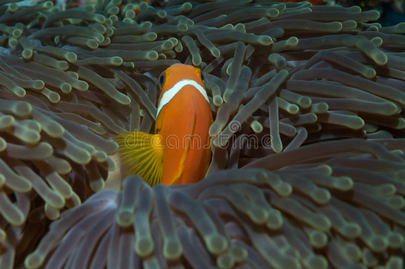Maldives Anenomefish zdjęcia stock