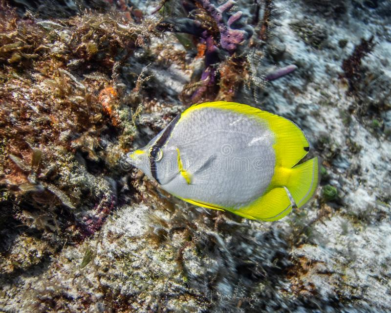 Maldives. Chaetodon ocellatus Spotfin butterflyfish. Against a coral reef royalty free stock photos