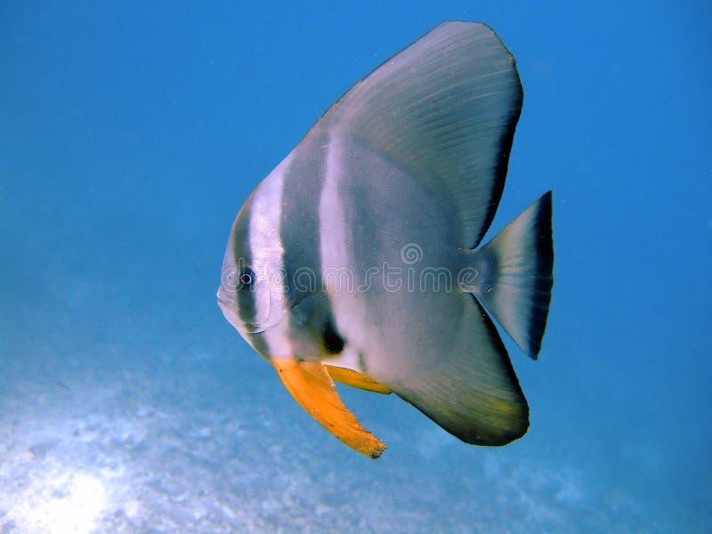 maldives för ariatollbatfish tiera royaltyfria bilder