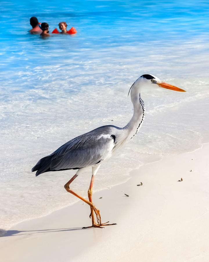Maldives, island resort - october 18, 2014: Beautiful wild white heron with people on the beach resort hotel in the Maldives agai stock images