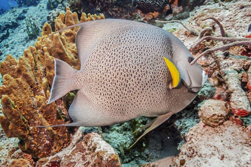 maldives Poissons Gray Angelfish images stock