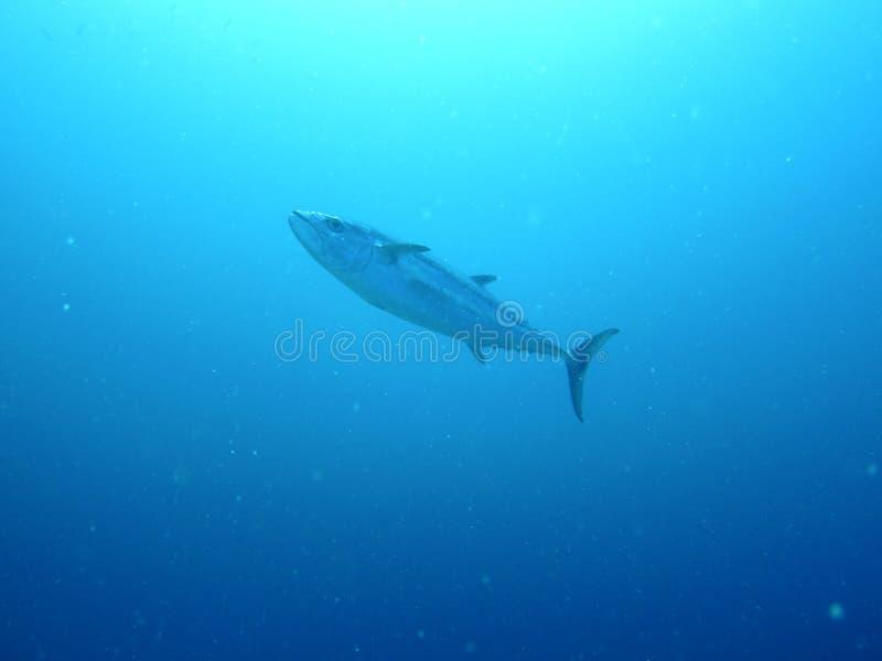 maldives rybi gigantyczny tuńczyk obraz stock