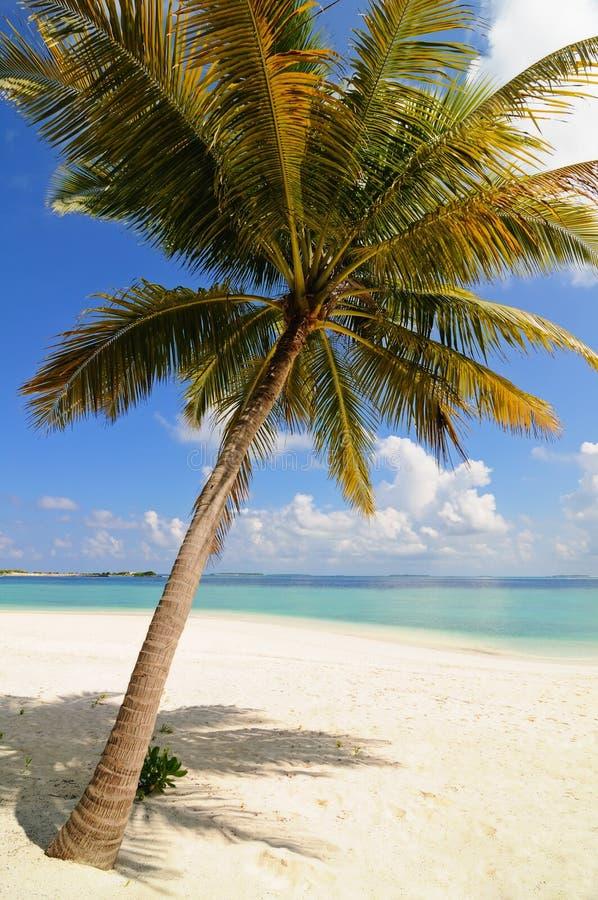 maldives samotny drzewko palmowe zdjęcie stock