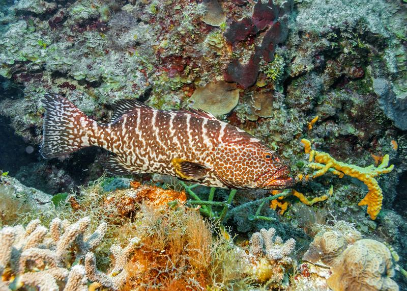 maldives Tijgertandbaars stock afbeelding