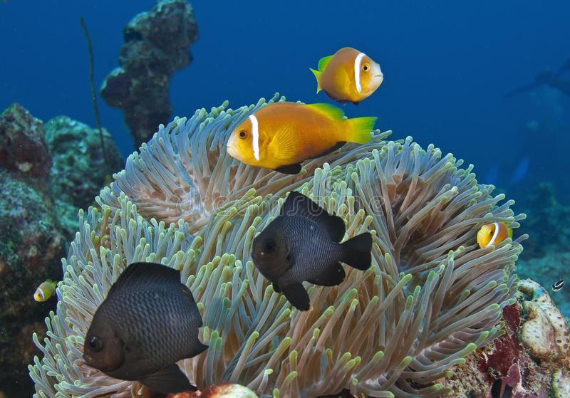 In the Maldives, underwater creatures, colorful fish dance with harmony. Everyone should see this scene once in your life, water life, the colorful life there royalty free stock photography