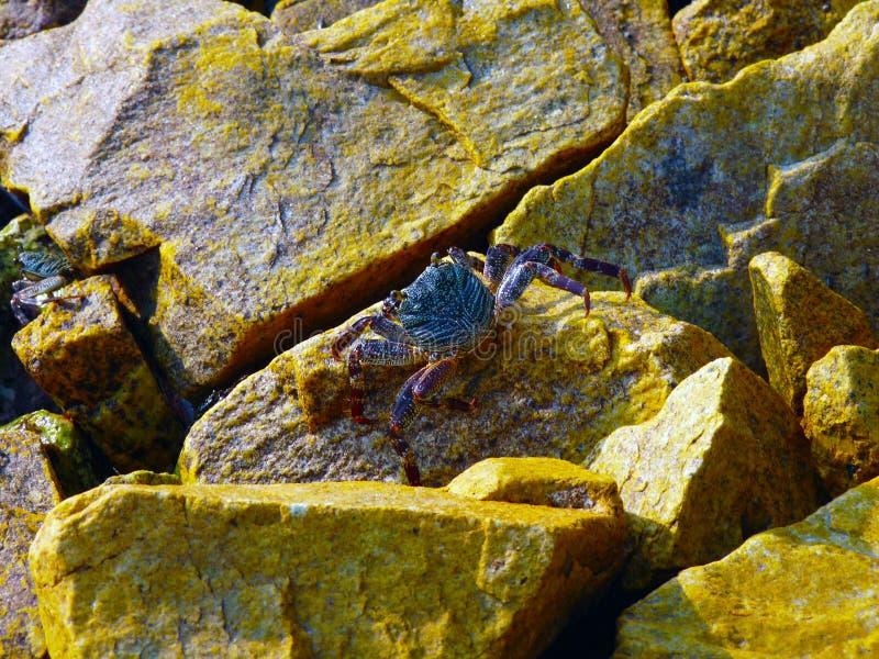 Maldivian Ghost Crab stock photography
