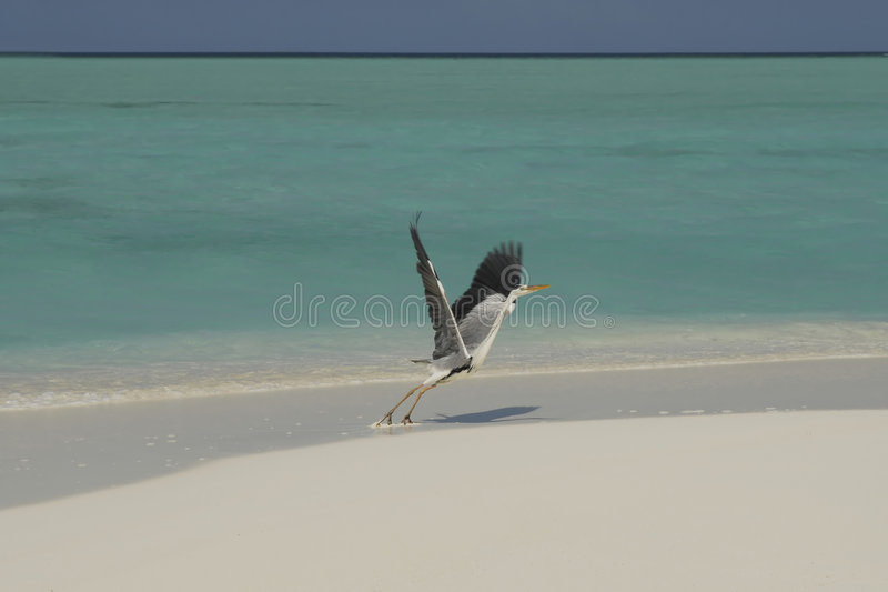 Maldivian island. With seagull landing royalty free stock images