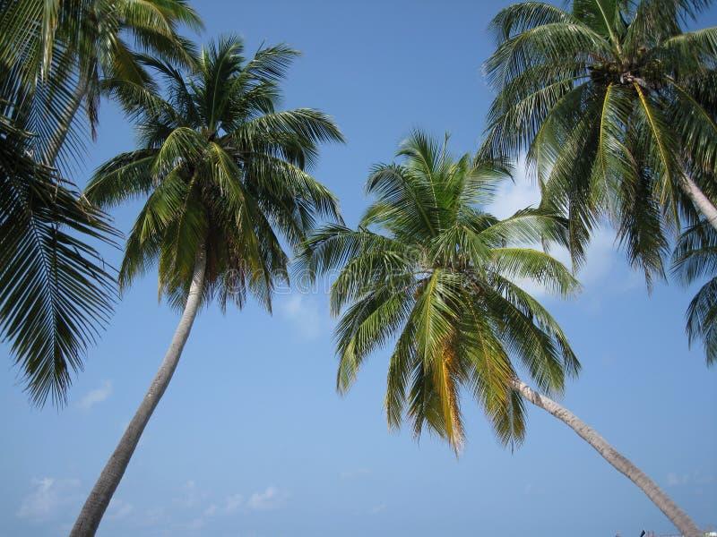 Maldivian palm tree