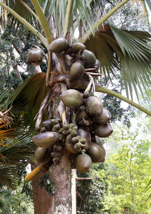 Maldivica de Lodoicea, jardin botanique royal, Sri Lanka images libres de droits