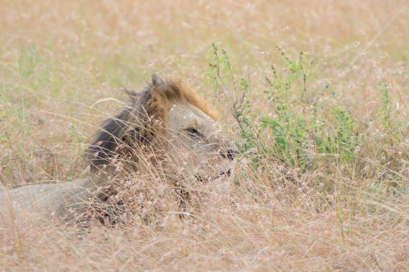 Male在马塞语玛拉的Lion Portrait国王 图库摄影