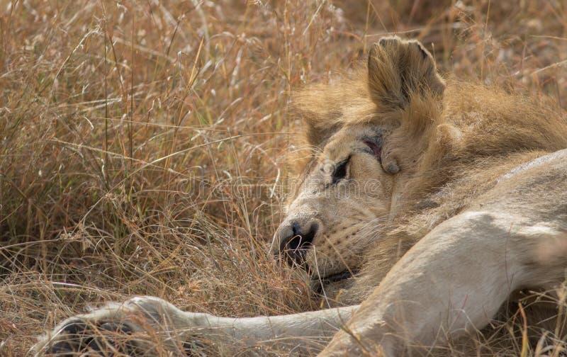 Male在马塞语玛拉的Lion Portrait国王 免版税库存照片