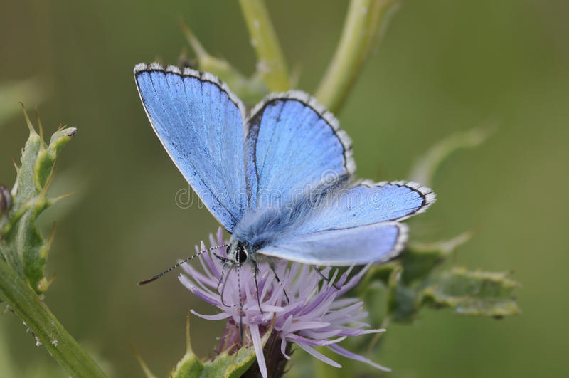 Male Adonis Blue Butterfly Royalty Free Stock Photography