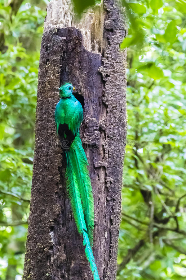Male adult Resplendent Quetzal at nesting hole - Pharomachrus mocinno royalty free stock image
