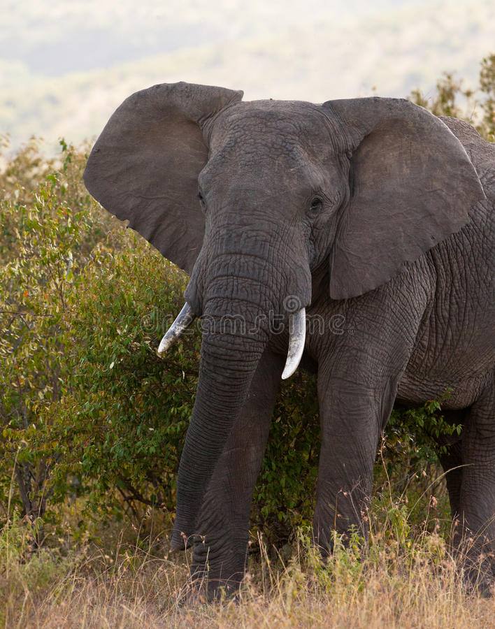 Male African Elephant. The male African Elephant (Loxodonta africana) is the biggest and heaviest terrestrial animal of our times and certainly an impressive royalty free stock photos