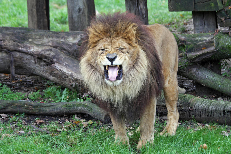 Male african lion. Close up of a male african lion,roaring royalty free stock photography