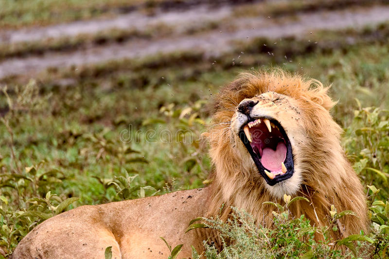 Male African lion bares teeth. While sitting in grass stock photos