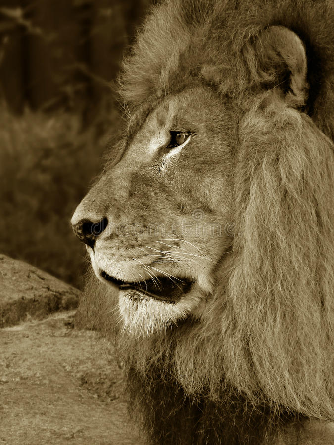 Male African Lion. Close-up portrait of a male African Lion edited in a sepia tone royalty free stock photography