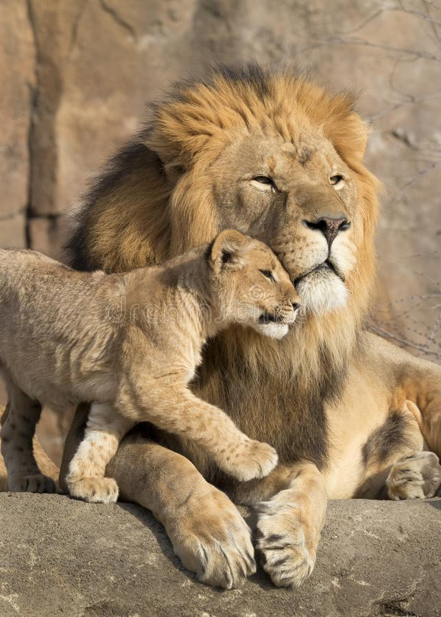 Male african lion is cuddled by his cub during an affectionate moment. This proud male aftican lion is cuddled by his cub during an affectionate moment. She is stock photo