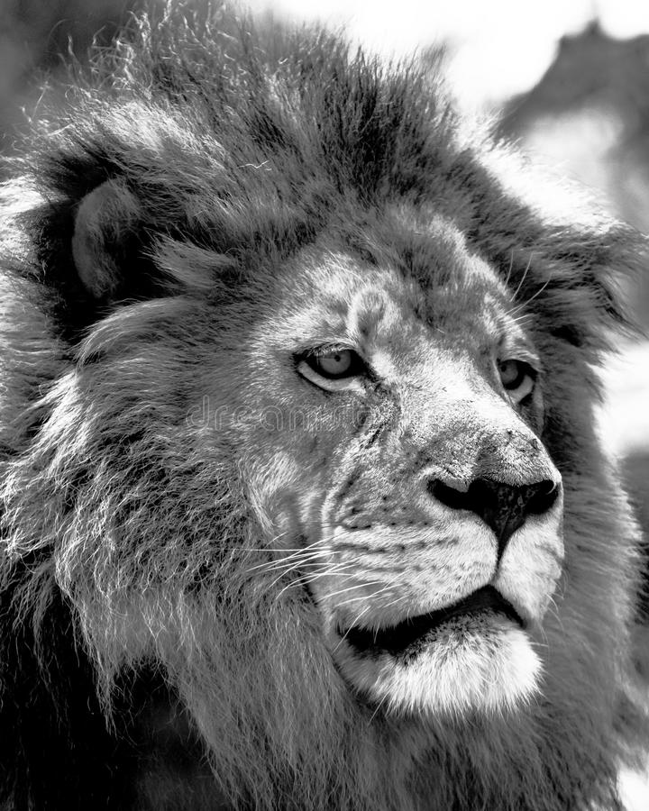 Free Male African Lion Face Close Up Royalty Free Stock Photos - 87307148