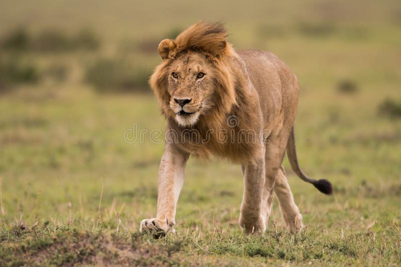 Male African lion in Masai Mara, Kenya. A male African lion hunting in a savannah in Masai Mara Game Reserve, Kenya royalty free stock image