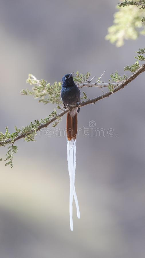 Male African Paradise Flycatcher on Tree Branch. Male African paradise flycatcher, Terpsiphone viridis, is perching on tree branch at Simbo Lodge, Lake Langano stock photo
