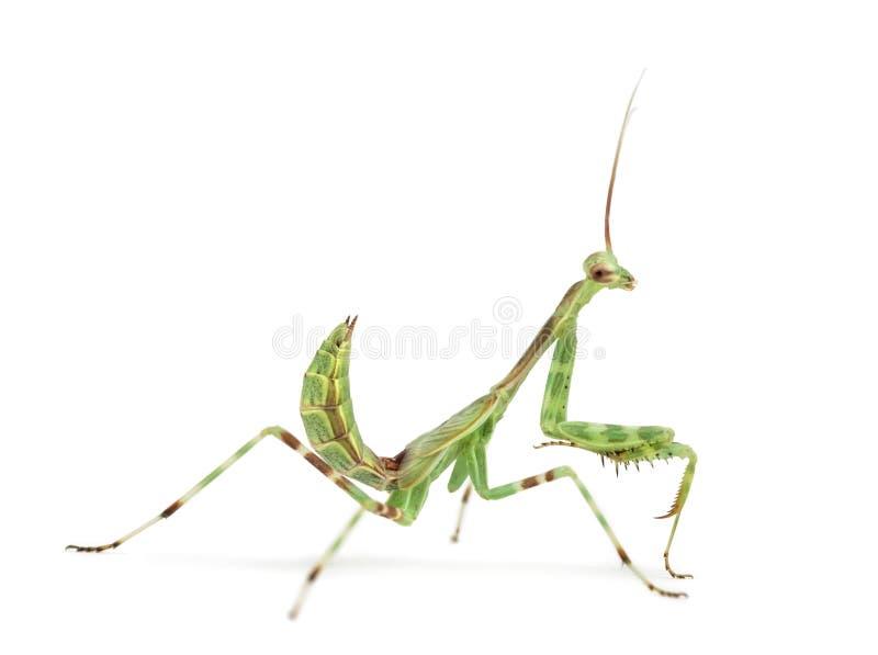 Male African Pinstripe Mantis - Miomantis binotata. Isolated on white stock photo