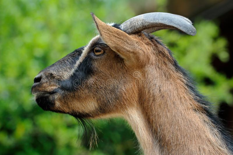 Male African pygmy goat. Portrait of male African pygmy goat. Photography of nature royalty free stock image