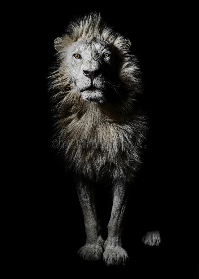 Male African White Lion Portrait Full Body stock photography