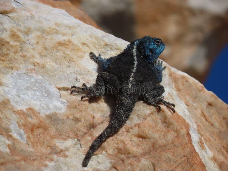 Male Agama Lizard fotografering för bildbyråer