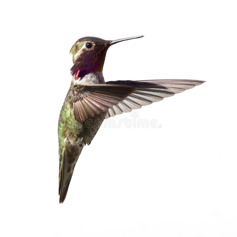 A male Allen`s Hummingbird in flight isolated on white royalty free stock images