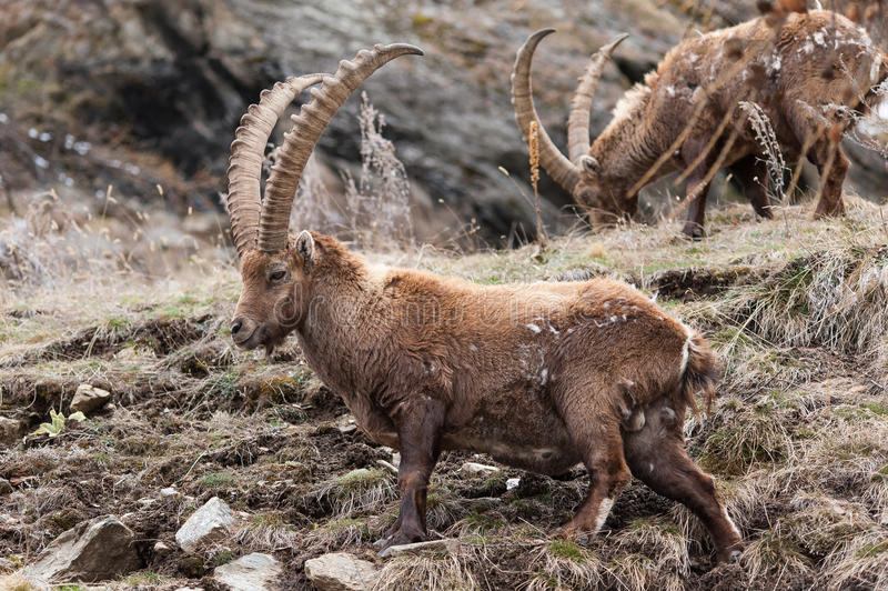 Male Alpine ibex. On a mountain slope in Alps royalty free stock photo