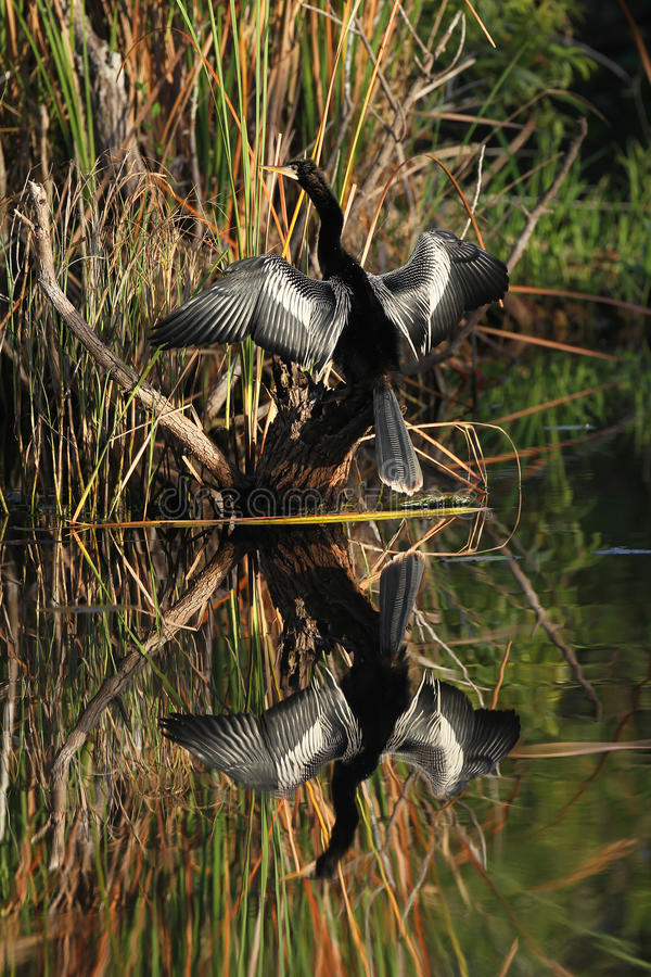 Download Male American Anhinga And Reflection In Water Stock Image - Image: 23982665