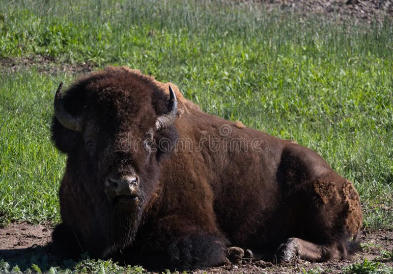 Male American Bison Laying in a Field Looking at the Camera. Male American bison resting in grass, looking at the camera. He is shedding his winter coat stock photos