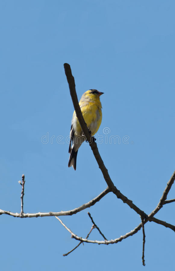 Download Male american goldfinch stock image. Image of sunny, beek - 19110477