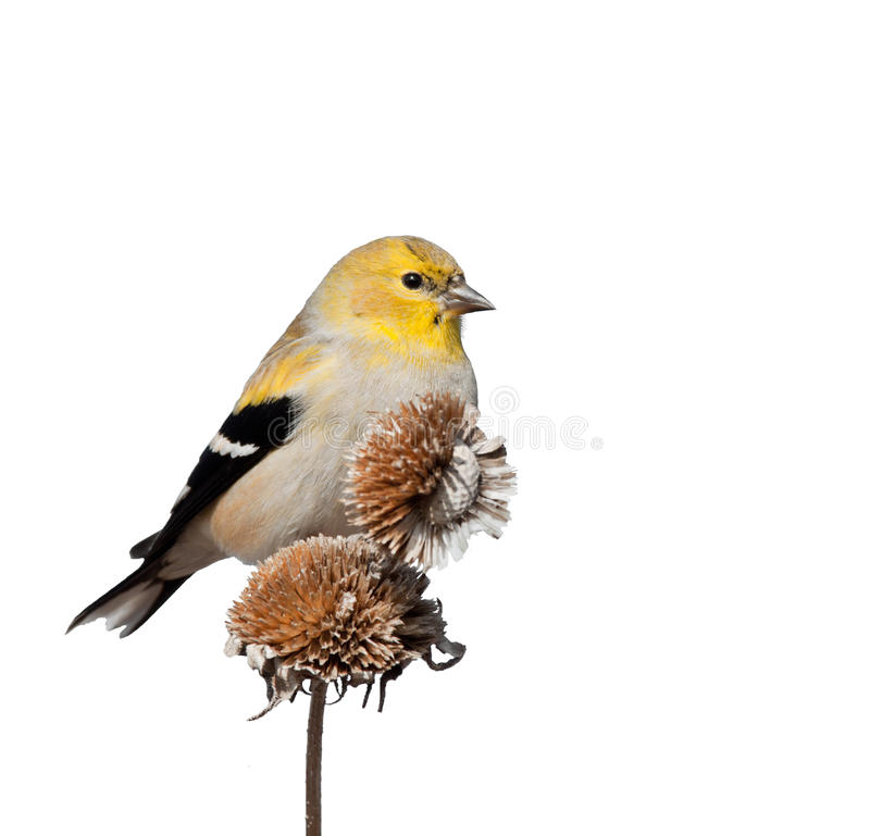 Male American Goldfinch in winter plumage; isolated on white. Male American Goldfinch in winter plumage, perched on top of dry wild sunflower seedpods; isolated stock photography