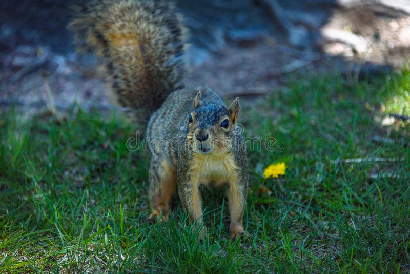 A male american gray squirrel looking carefully royalty free stock photos