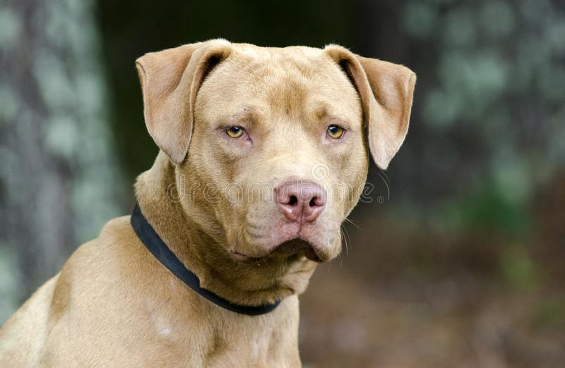 Male American Pitbull Terrier dog, pet adoption photography. Unneutered male rednose pit bull terrier dog, chocolate red color, on leash outdoors in trees. Pet stock photography