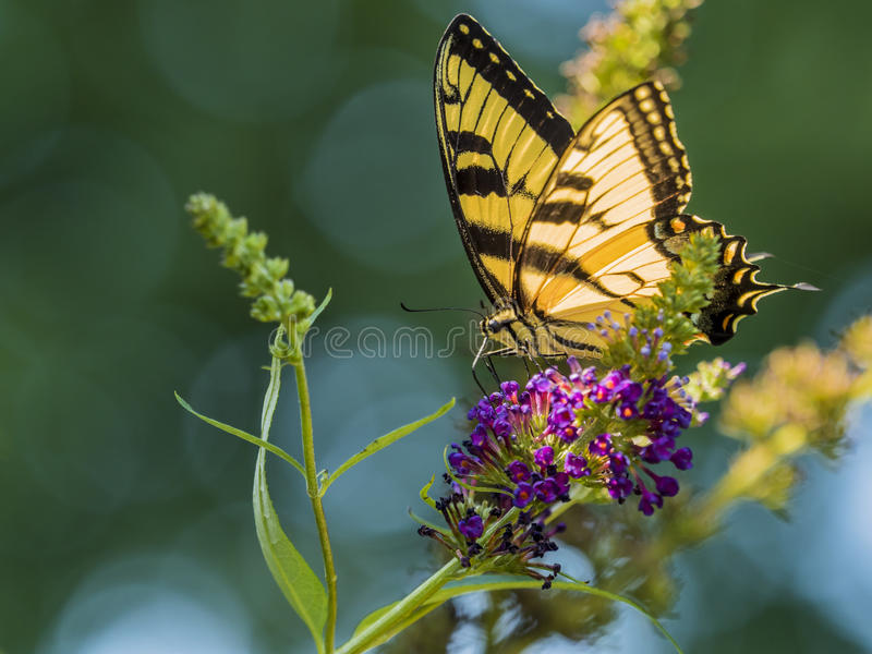 Male American Tiger Swallowtail Butterfly. A male American Tiger Swallowtail butterfly perched on the purple flower of a butterfly bush stock photo