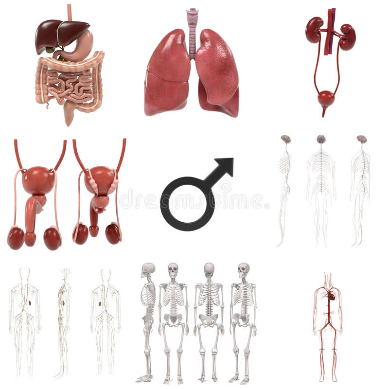 Male anatomi vektor illustrationer