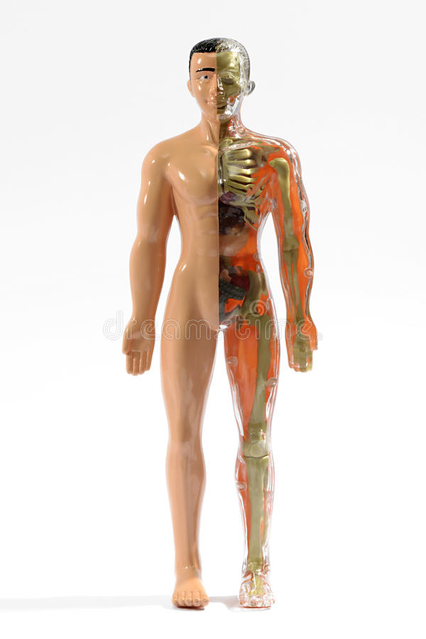Male Anatomical Medical Mannequin Stock Image Image Of Medicine
