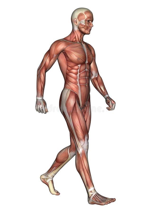 Male Anatomy Figure stock illustration. Illustration of render ...