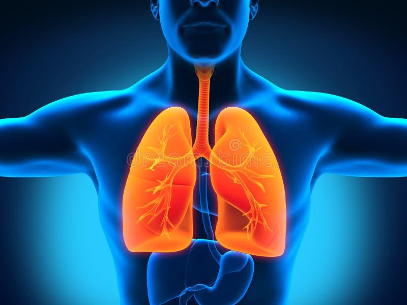 Male Anatomy of Human Respiratory System vector illustration