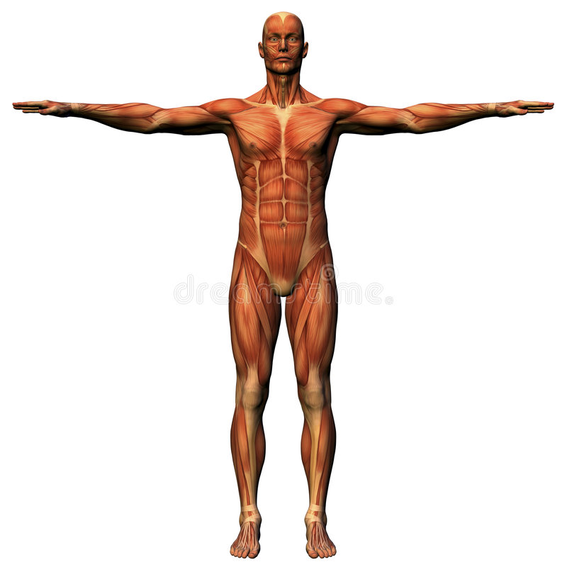 Male anatomy - musculature. Male anatomical study illustrating human musculature royalty free illustration
