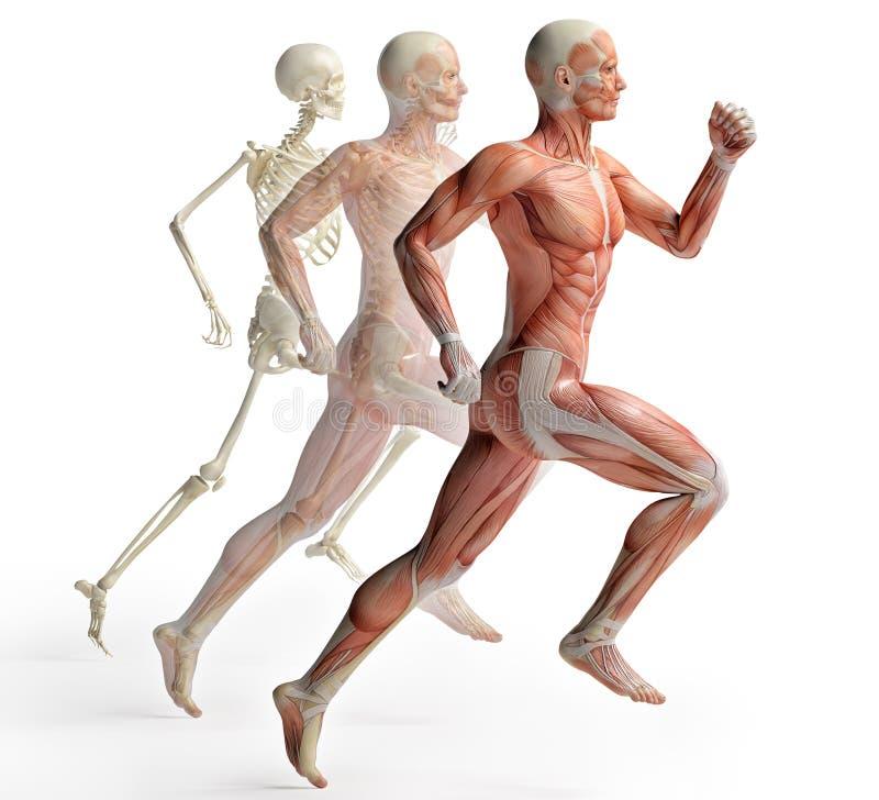 Male anatomy running royalty free illustration