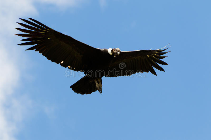 Male Andean Condor In Flight. Shot In Highlands Of Ecuador Andes Mountains stock images