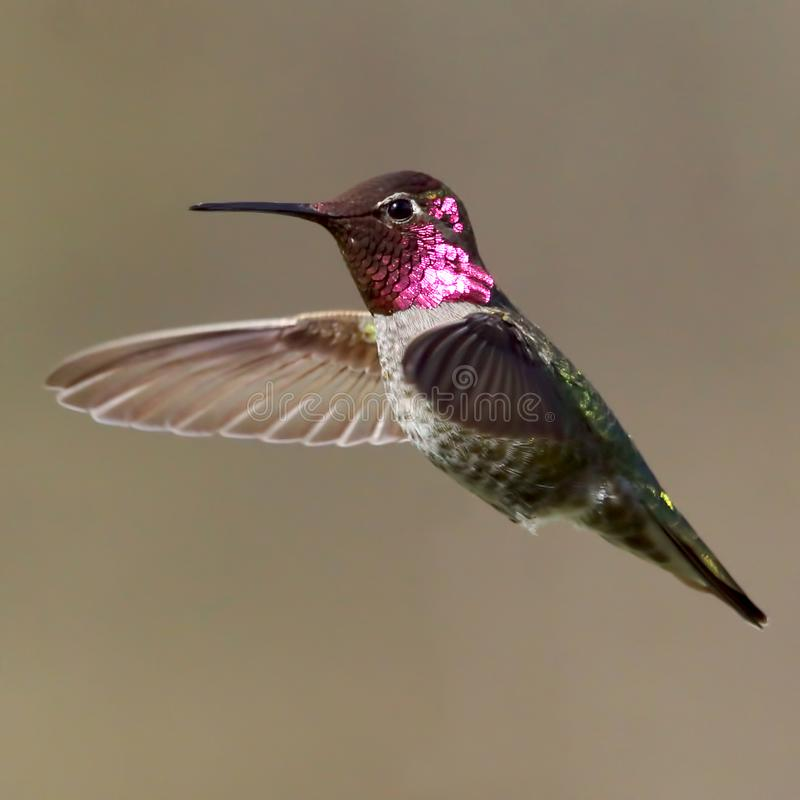 Male Anna`s Hummingbird frozen in time with a blurred background stock photos