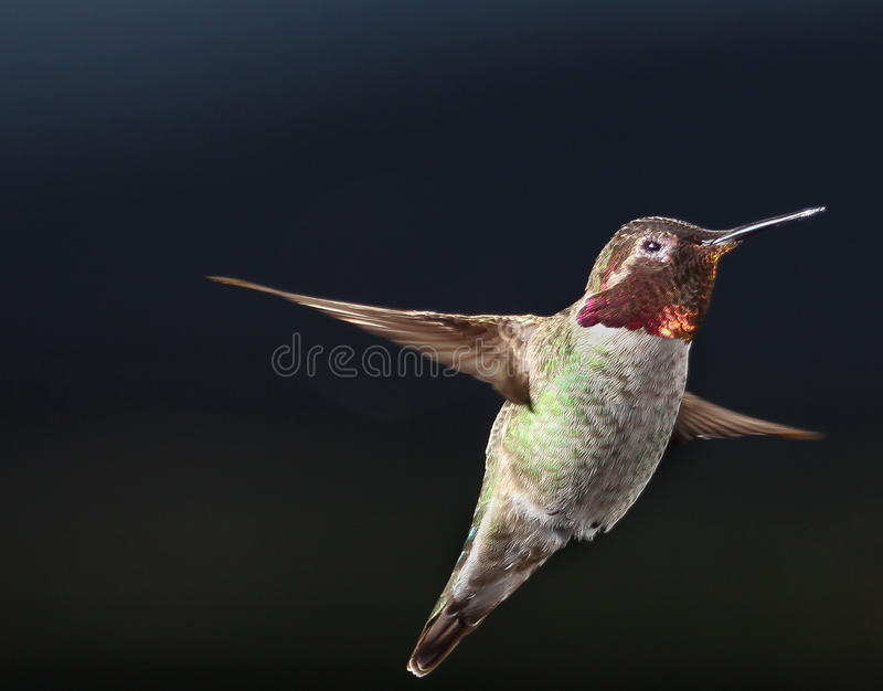 Male Anna`s hummingbird hovering in the air. Male Anna`s or Costa`s hummingbird hovering in the air, California, USA stock photography