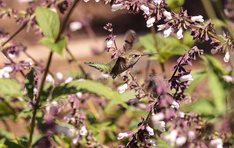 Male Annas Hummingbird, Calypte anna royalty free stock images
