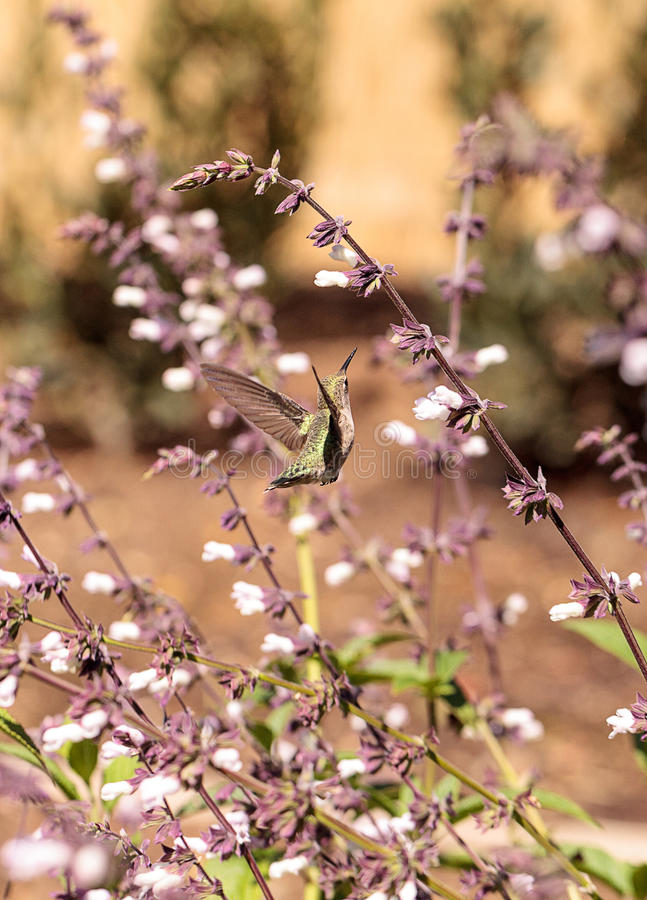 Male Annas Hummingbird, Calypte anna. Feeds off nectar in flowers Southern California, United States stock photo